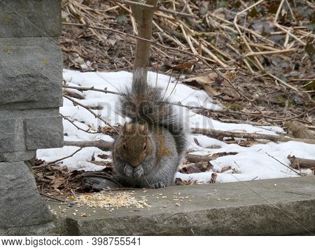 Grey Squirrel Sitting Onstone And Eating Seeds