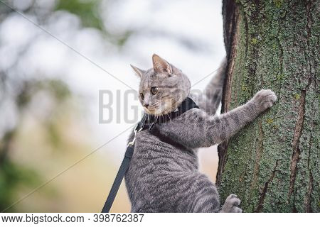 Cute Gray Young Cat Dressed Leash For Cats Outdoors In Autumn Park Street, Stands On Shoulder Of Own