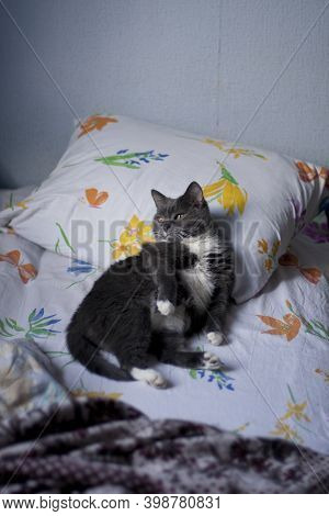 Vertical Photo Of Grey Smoky White-breasted Relaxed Domestic Cat Lying On Uncovered Bedclothes Linen