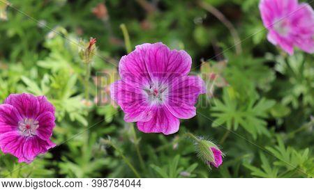Geranium Sanguineum, Common Names Bloody Cranesbill Or Bloody Geranium On A Garden. Geranium Sanguin