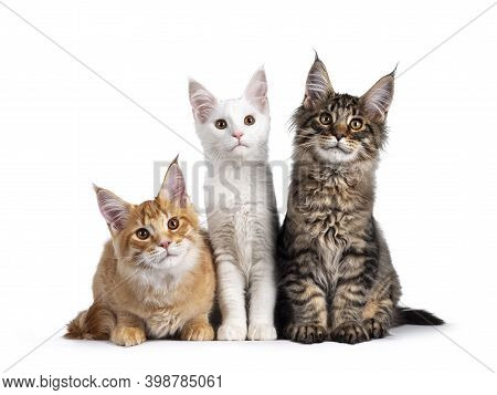 Red, Solid White And Black Tabby Maine Coon Cat Kittens, Sitting Beside Each Other. Looking Al Three