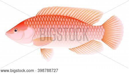 One Red Nile Tilapia Fish In Side View With Big Fins, High Quality Illustration Of Commercial Fish,