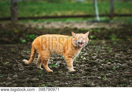 Meowing Red Ginger Cat At Spring Day.