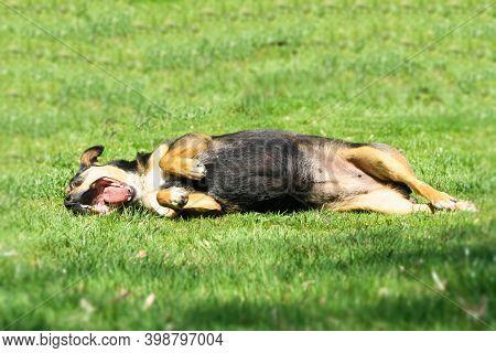 Dog Havin Fun In Grass. Dog Rolling On Meadow In Park