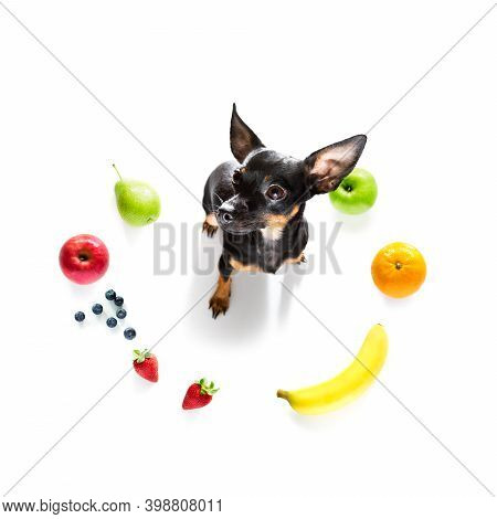 Prague Ratter Dog With Guilty Conscience  For Overweight, And To Loose Weight , Isolated On White Ba