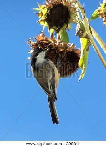 chickadee,hanging from sunflowers eating seed. poster