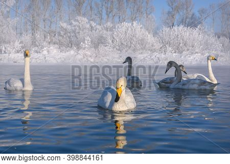 Amazing Winter Landscape With Swans (cygnus Cygnus) Swimming In The Lake, Snow And Ice Against The B
