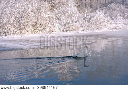 Amazing Winter Landscape With Swan (cygnus Cygnus) Swimming In The Lake, Snow And Ice Against The Bl