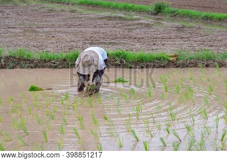Young Woman Farmer Bends Down For Are Rice Planting On The Paddy Rice Farmland. In Northern, Thailan