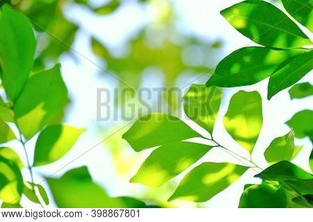 Tropical Tree Leaves Growing In Botanical Garden With Warm Light And Bokeh,green Nature Background
