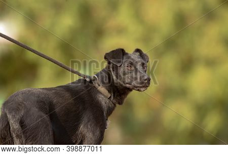 Black Labrador Mix Breed Dog On A Choke Leash, Training And Learning How To Walk On A Leash. Natural
