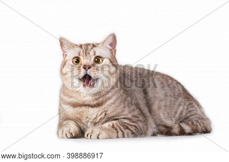 Horisontal Photo Of Grey Gray Tabby Striped Fluffy Cute Adorable Young British Cat Meowing Making Vo
