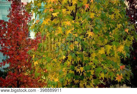 Variability Of Autumn Foliage In A Tree Of One Species. The Basic Species Is Rich In Autumn Colors,