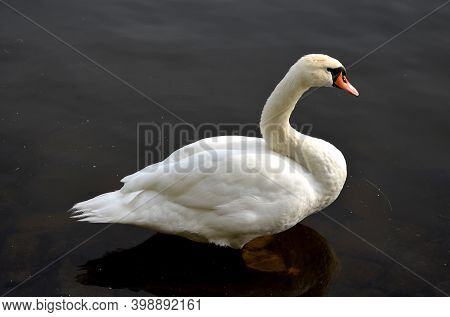 The Whooper Swan Is One Of The Largest Birds In The Czech Republic. He Has A Long, White Body With A