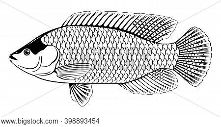 One Red Nile Tilapia Fish In Side View With Big Fins In Black And White Isolated Illustration, High