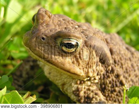 Common Toad: Found In Eurasia And North-west Africa. It Is Considered The Largest Toad In Europe