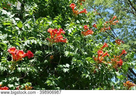 Reddish Orange Flowers In The Leafage Of Campsis Radicans In July