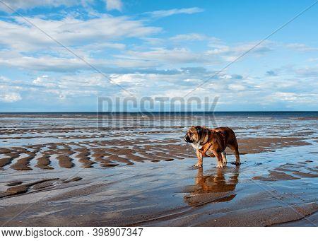 English Bulldogs Walking On Seaside In Great Summer Day