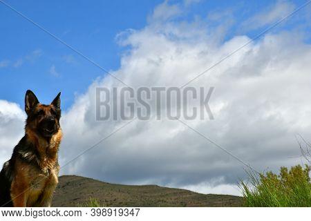 German Shepherd (alsatian) Posing With Blue And Cloudy Sky.