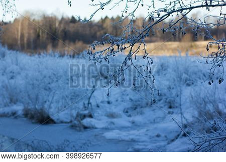 Alder branch with earrings at winter.