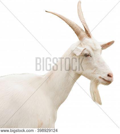 Cute Goat On White Background. Animal Husbandry