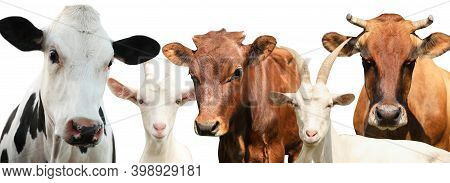 Set With Cute Cows And Goats On White Background, Banner Design. Animal Husbandry