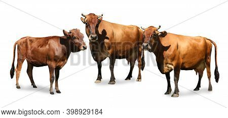 Set Of Cute Cows On White Background, Banner Design. Animal Husbandry