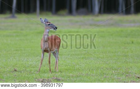 Whitetail Deer Female Standing On Grass In North Carolina