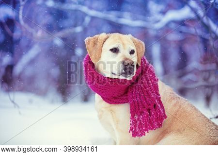 Portrait Of A Dog With A Knitted Scarf Tied To His Neck, Sitting In A Snowfall In The Forest