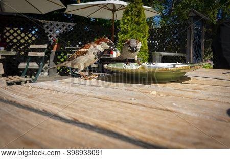 Sparrows Scavenging Café Plates When Patrons Have Lefty.