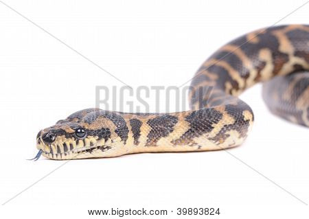 Snake Isolated Over White Background
