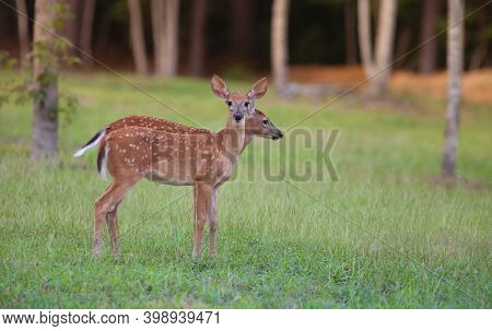 Two Whitetail Deer Fawns Near A Forest Near Raeford North Carolina