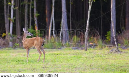 Whitetail Deer Looking Back Into A Forest Near Raeford North Carolina