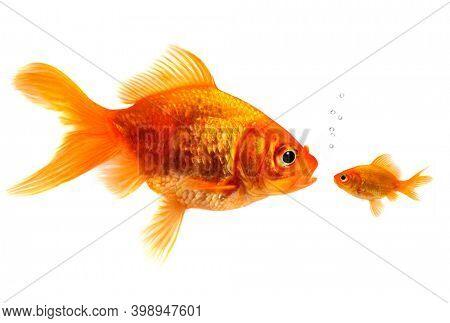 Two goldfish on white background