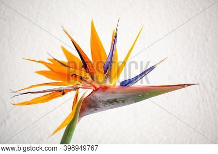 Beautiful Colorful , Birds Of Paradise, Strelitzia Reginae, Flower On White Background. High Quality