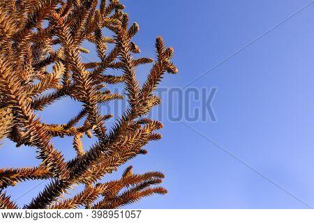 Araucaria Araucana, Chilean Pine Or Monkey Puzzle Tree Trunk Detail.