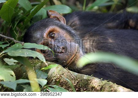 The Common Chimpanzee (pan Troglodytes) Resting In The Forest. A Large Black Ape In The Dense Lower