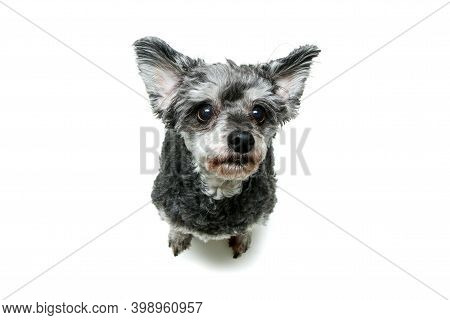 The Cute Crossbreed Of Shi Tzu And Poodle Sitting And Looking Shy And Funny. Isolated On A White Bac