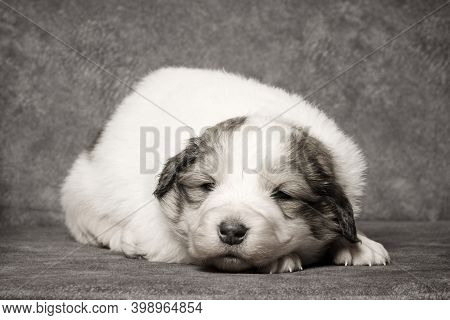 The Cute White Sheperd Puppy Is Lying Down On Gray Background.