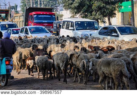 Nawalgarh, India - Dec 28, 2019: Shepherd Moving Through Road Traffic With His Herd Of Goats And Lam