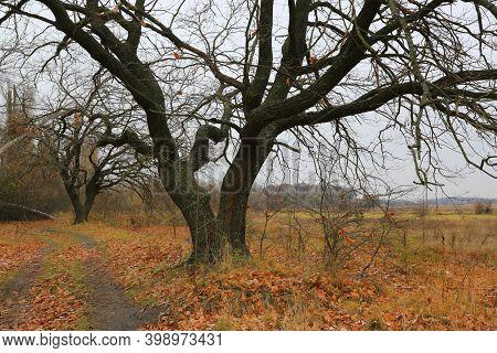 leafless oaks tree in autumn forest