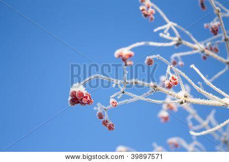 Viburnum Branch On Blue Sky Background