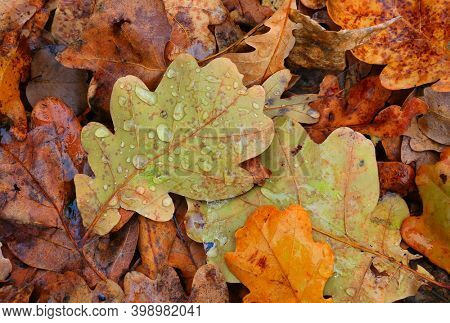 autumn oak leaves with water drops on the ground
