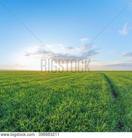Youngwheat,greenwheatseedlingsgrowing In A Fieldfood Production