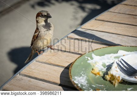 Male House Sparrow Lands On Edge Of Outdoor Cafe Table To Scavenge Food.;