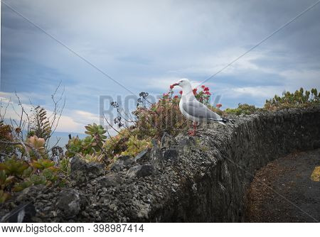 Red-billed Gulls Nesting Site On Rock Wall With Red Flowers In Background On Coastal Cliff On Whitew