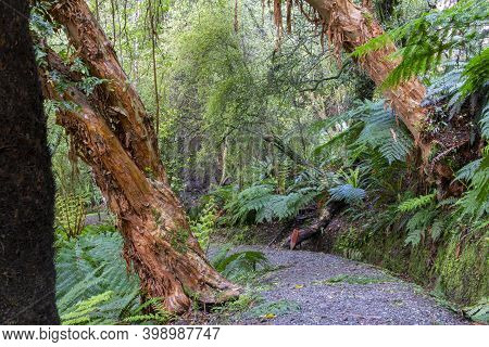 New Zealand Rain Forest Dense And Dark With Path Between Ferns And Fuchsia Trees