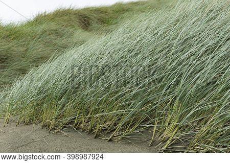 Windswept Marram Grass On Oreti Beach, Invercargill, New Zealand.
