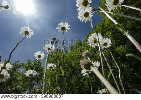 Looking Up From Ground Level Long Stems Of Diasy Wildflowers Back-lit By Sun