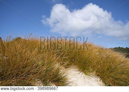Golden Marram Grass On Sand Dune Under Blue Sky With White Cloud On Stewart Island, New Zealand
